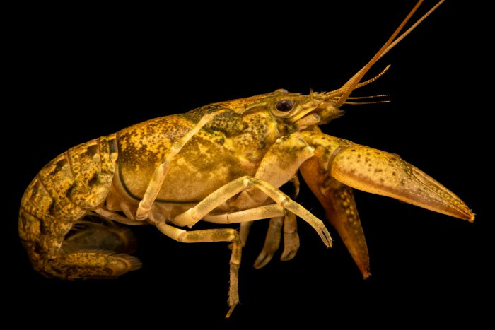 Photo: Fishhook crayfish, Faxonius rhoadesii, at West Liberty University in West Liberty, WV. This specimen is from Hurricane Creek, TN.
