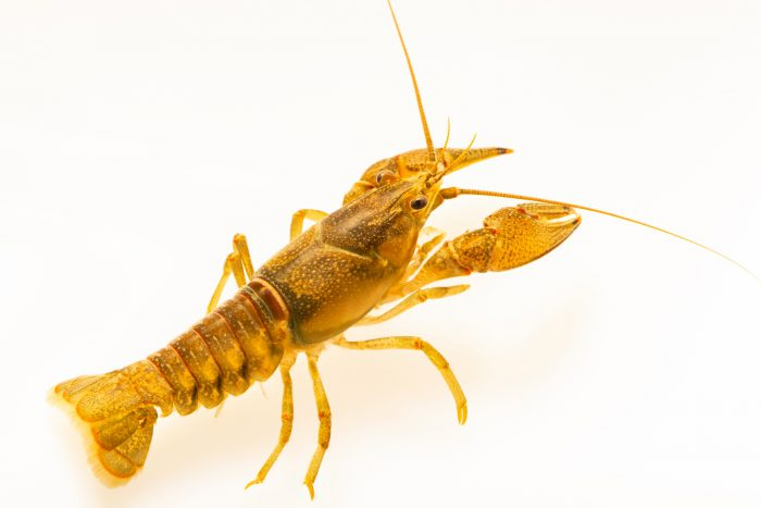 Photo: Louisville crayfish, Faxonius jeffersoni, at West Liberty University in West Liberty, WV. This specimen is from Louisville, KY.