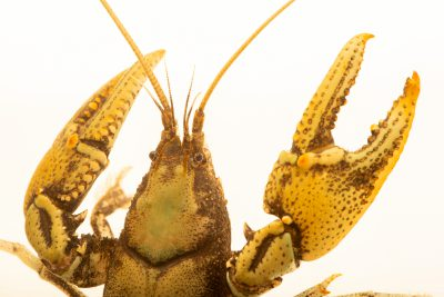 Photo: Appalachian brook crayfish, Cambarus bartonii cavatus, at the Crayfish lab in West Liberty University in West Liberty, WV. This specimen is from Ohio.
