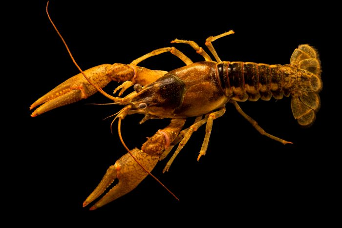 Photo: Northern clearwater crayfish, Faxonius propinquus, at the Crayfish lab in West Liberty University in West Liberty, WV. This specimen is from Erie Basin, PA.