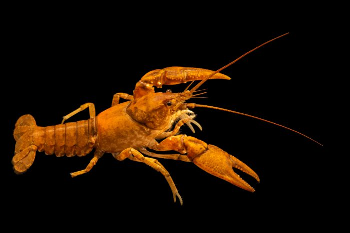 Photo: An undescribed crayfish, Cambarus cf. robustus, at the Crayfish lab in West Liberty University in West Liberty, WV. This specimen is from New River, VA.