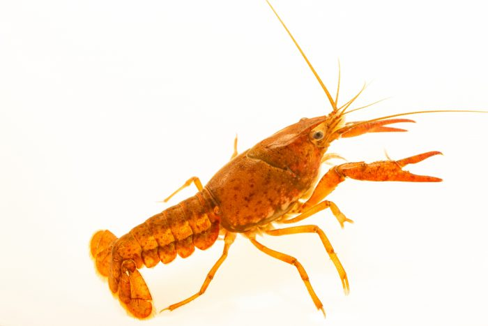 An undescribed crayfish species, Procambarus sp., at the Crayfish lab in West Liberty University in West Liberty, WV.  This specimen is from Peacock Creek, Flemington GA.