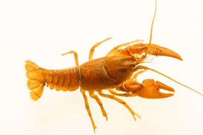 Photo: Ambiguous crayfish, Cambarus striatus, at the Crayfish lab in West Liberty University in West Liberty, WV. This specimen is from Montgomery Bell State Park, TN.