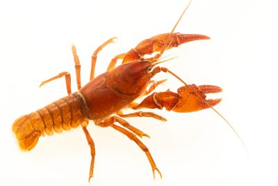 Photo: Mitten crayfish, Cambarus asperimanus, at the Crayfish lab in West Liberty University in West Liberty, WV. This specimen is from the Saluda River System, SC.