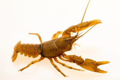 Photo: Depressed crayfish, Cambarus cf. rusticiformis, at the Crayfish lab in West Liberty University in West Liberty, WV. This specimen is from Montgomery Bell State Park, TN.