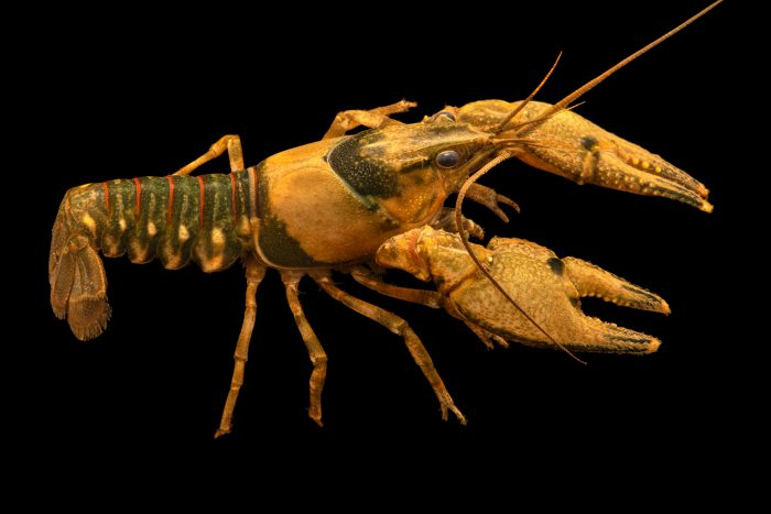 Photo: Coosa River spiny crayfish, Faxonius spinosis, at the Crayfish lab in West Liberty University in West Liberty, WV. This specimen is from the Conasauga River, GA.