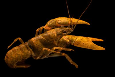 Photo: Slender crayfish, Faxonius cf. compressus, at the Crayfish lab in West Liberty University in West Liberty, WV. This specimen is from the Buffalo River, TN.