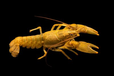 Photo: Barren River crayfish, Faxonius barrenensis, at the Crayfish lab in West Liberty University in West Liberty, WV. This specimen is from the Barren River, KY.