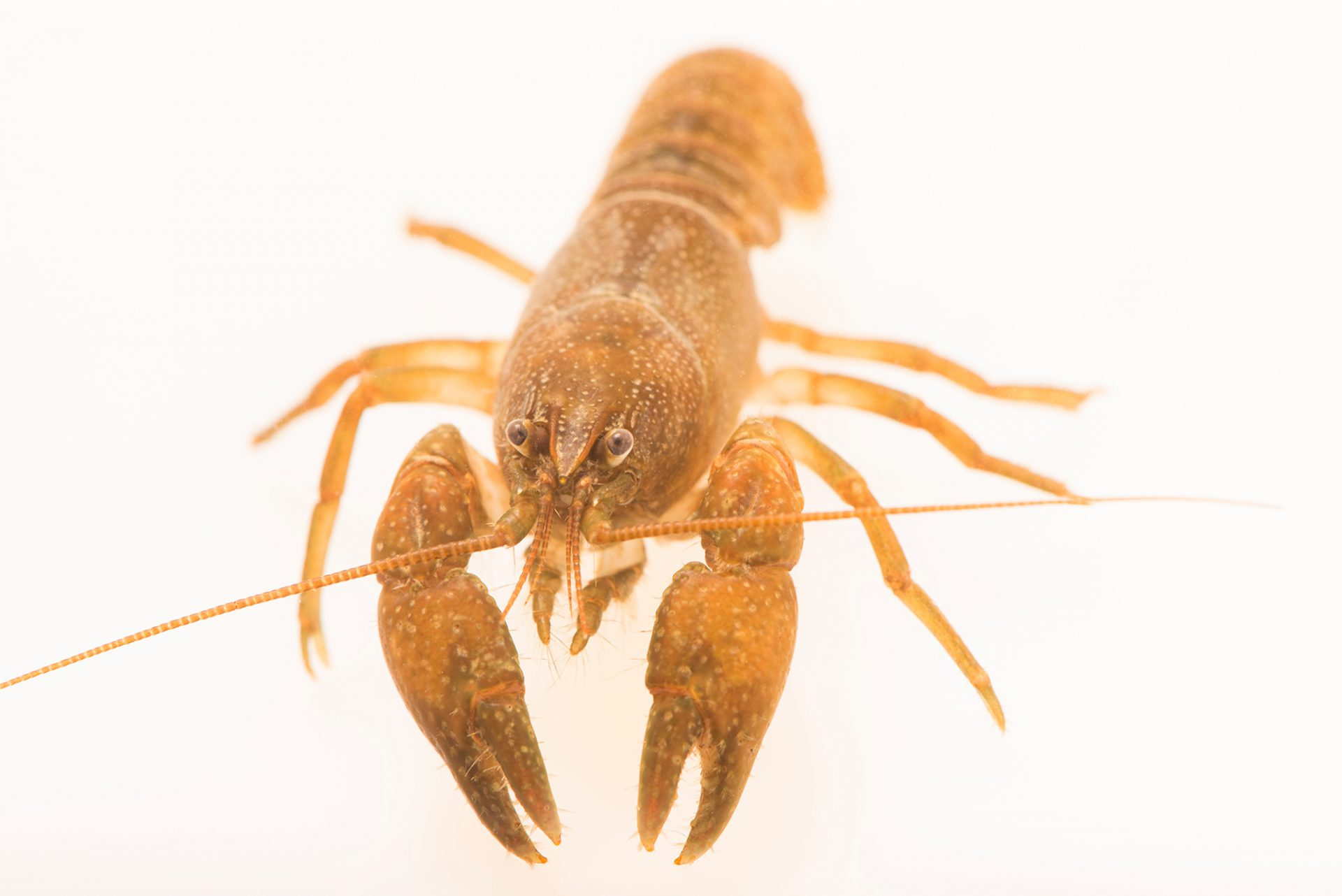 Photo: An undescribed crayfish, Cambarus glarecola sp., at the Crayfish lab in West Liberty University in West Liberty, WV. This specimen is from Fortyeight Creek, TN.