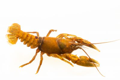 Photo: Depression crayfish, Cambarus rusticiformis, at the Crayfish lab in West Liberty University in West Liberty, WV. This specimen is from the Cumberland River, TN.