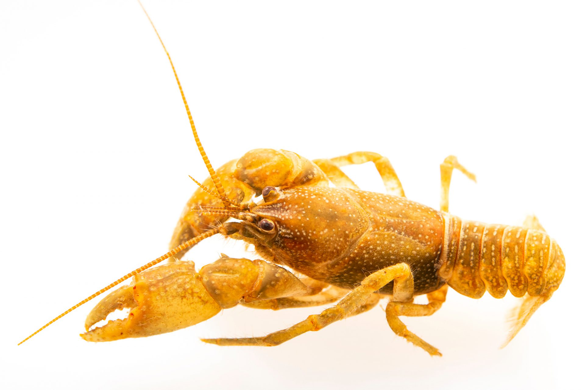 Photo: Brawleys Fork crayfish, Cambarus williami, at the Crayfish lab in West Liberty University in West Liberty, WV. This specimen is from Brawney Fork, TN.