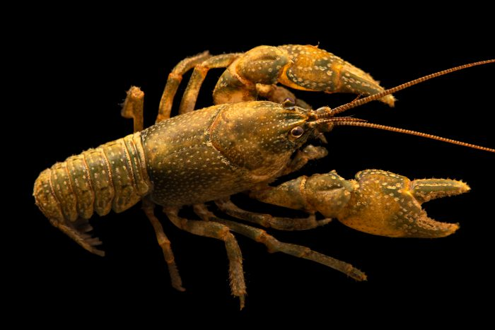 Photo: Hairy crayfish, Cambarus friaufi, at the Crayfish lab in West Liberty University in West Liberty, WV. This specimen is from Scott Creek, TN.