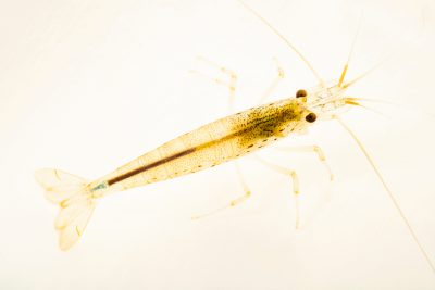 Photo: Freshwater shrimp (Caridina multidentata) at Kansas University.