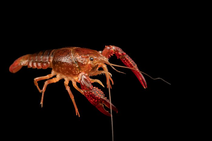 Photo: Red swamp crayfish (Procambarus clarkii) at the Woodland Park Zoo.