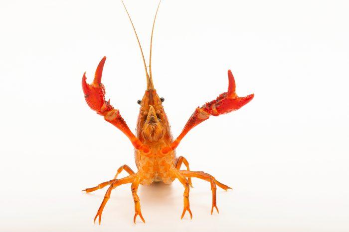 Photo: Red swamp crayfish (Procambarus clarkii) at the Woodland Park Zoo.