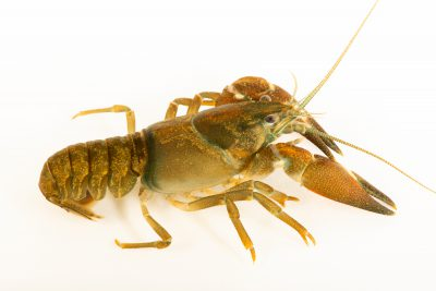 Photo: Pacific signal crayfish (Pacifastacus leniusculus) at the MK Nature Center in Boise, Idaho.