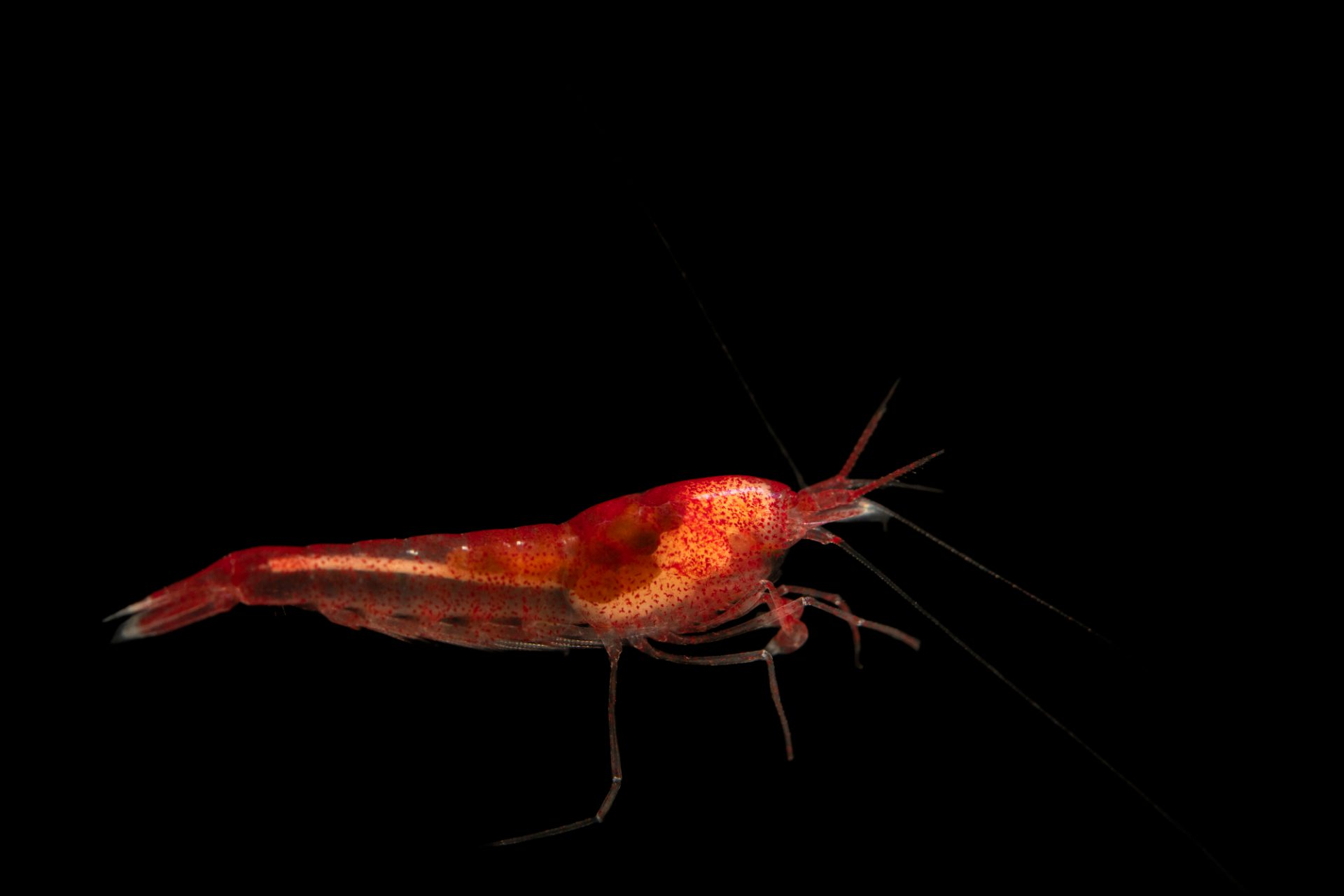Photo: An akialine shrimp (Halocaradina rubra) at the Auburn University Natural History Museum.