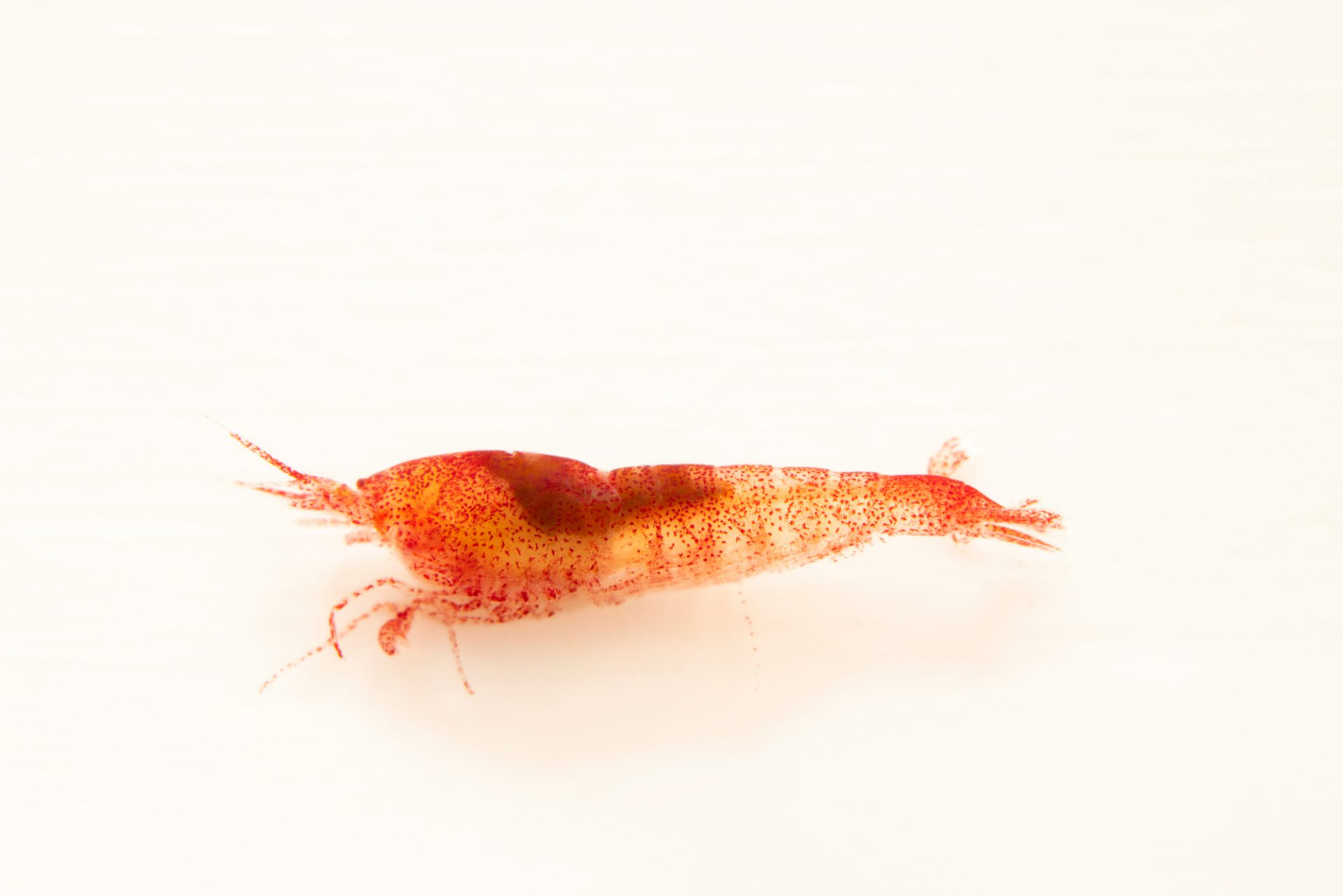Photo: An ancialine shrimp (anchialine rubra) at the Auburn University Natural History Museum.