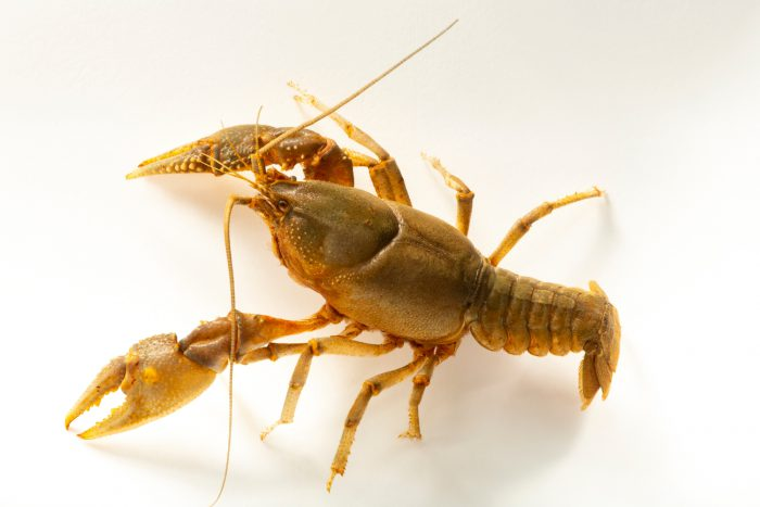 Photo: An ambiguous crayfish (Cambarus striatus cf) at the Fish Biodiversity Lab at Auburn University.