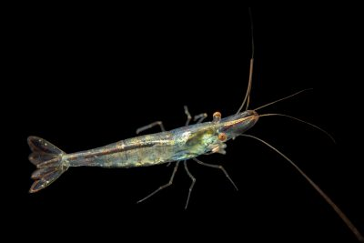 Photo: Short-nosed algae eating shrimp (Caridina longirostris) from a private collection.