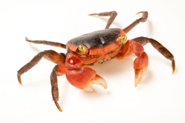 Photo: Red apple crab (Sesarma bidens) from a private collection.