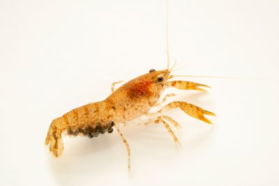 Photo: Shufeldtii mini crayfish (Cambarellus shufeldtii) with eggs, from a private collection.