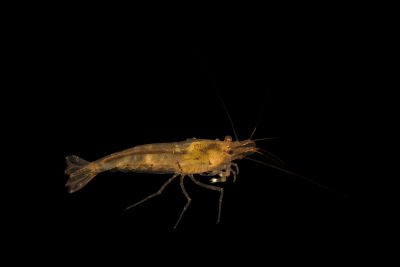 Photo: Tangerine tiger shrimp or Tupfel shrimp (Caridina serrata tupfel) from a private collection.