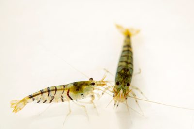 Photo: Tiger shrimp (Caridina cantonensis) locality southern China, from a private collection.