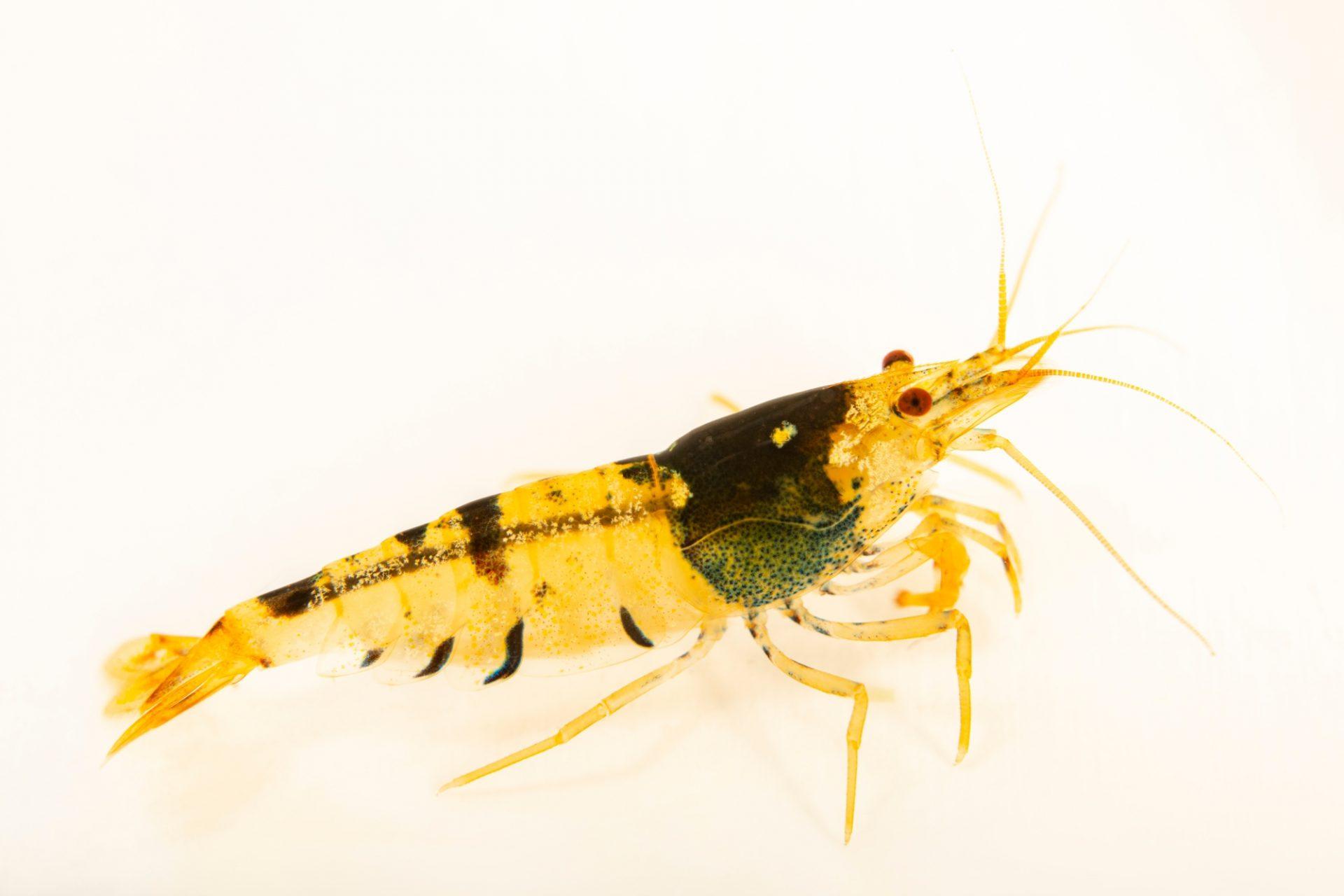 Photo: Crystal shrimp (Caridina cantonesis) locality China/Hong Kong, from a private collection.