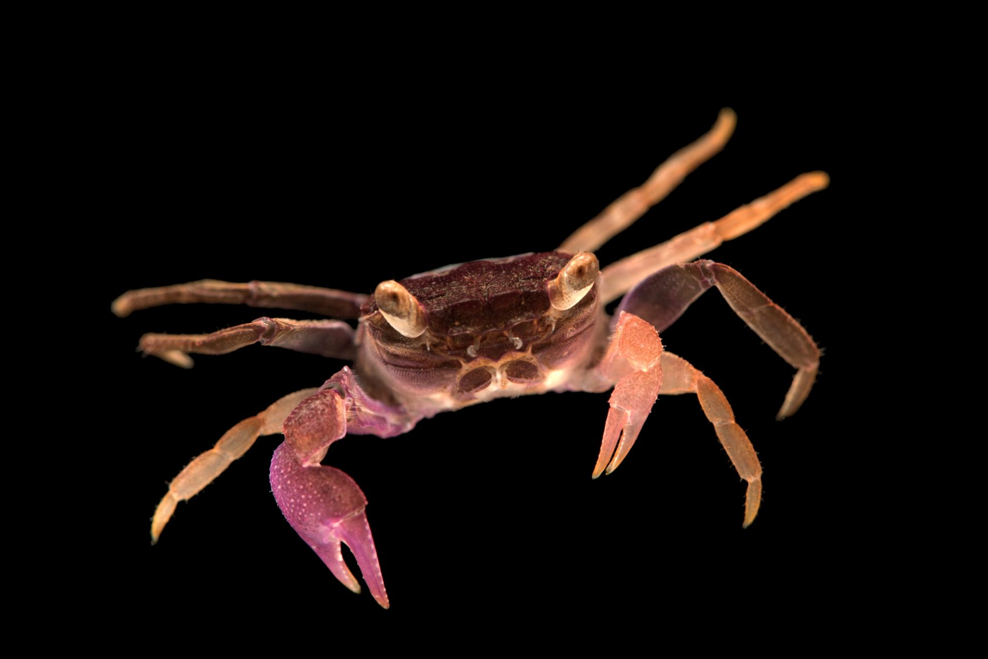 Photo: Purple vamprie crab (Geosesarma dennerle) from a private collection.