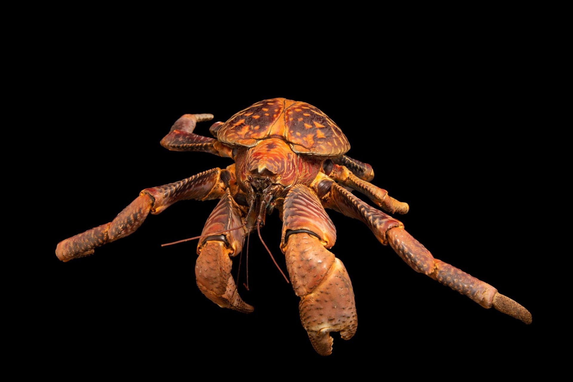 Photo: A coconut crab (Birgus latro) from Sorong, West Papua, Indonesia.