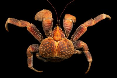 Photo: A coconut crab (Birgus latro) from Ternate, Mollucas Island, Indonesia.