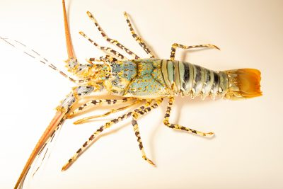 Photo: A ornate spiny lobster (Panulirus ornatus) at Semirara Marine Hatchery Laboratory in the Philippines.