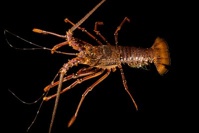 Photo: A pronghorn spiny lobster (Panulirus penicillatus) at Semirara Marine Hatchery Laboratory in the Philippines.