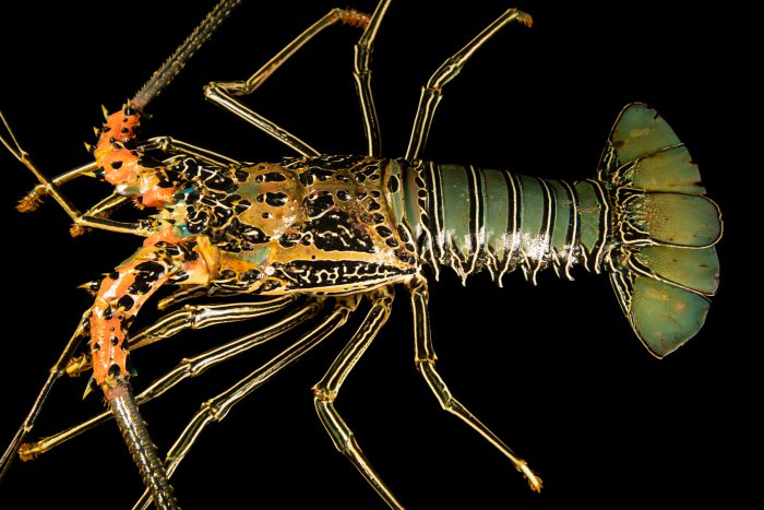 Photo: A painted spiny lobster (Panulirus versicolor) at Semirara Marine Hatchery Laboratory in the Philippines.
