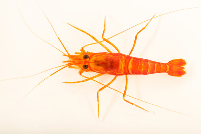 Photo: A Kükenthal's cleaner shrimp (Lysmata kuekenthali) at Aquarium Berlin.