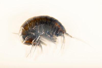 Photo: An unidentified amphipod species (Amphipoda sp.) at the Center for Aquatic Mollusk Programs in Lake City, Minnesota.