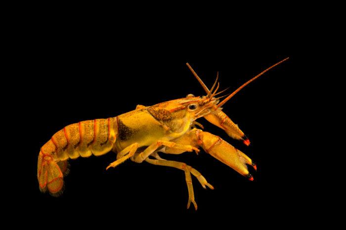Photo: A ringed crayfish (Faxonius neglectus) at the Pontotoc Ridge Preserve near Connerville, OK.