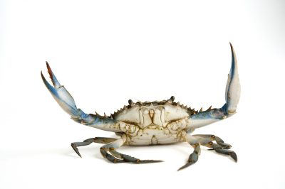 Photo: A blue crab (Callinectes sapidus).