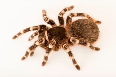 Photo: Brazilian black and white tarantula (Acanthoscurria brocklehursti) at the Omaha Zoo.