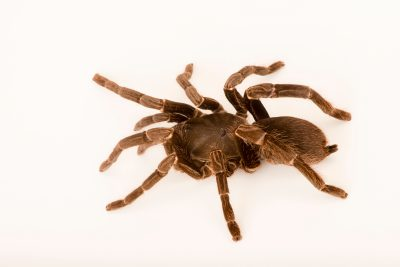 Photo: Cameroon red baboon tarantula (Hysterocrates gigas) at the Omaha Zoo.