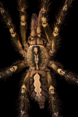 Fringed ornamental tarantula (Poecilotheria ornata) at the Omaha Zoo.