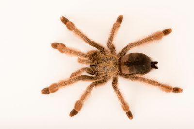 Photo: Panama blonde tarantula (Psalmopoeus pulcher) at the Omaha Zoo.