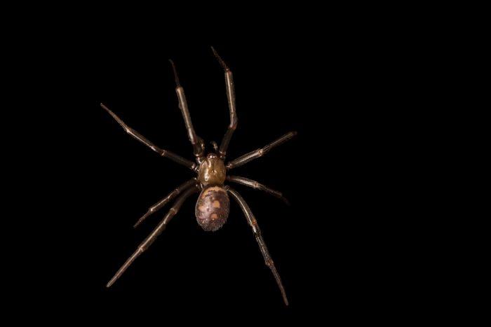 Photo: Cupboard spider (Steatoda grossa) at the Exmoor Zoo.