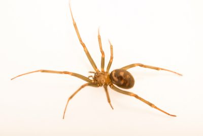 Photo: Cupboard spider (Steatoda grossa) at the Exmoor Zoo.