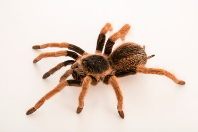 Photo: Colombian giant tarantula (Megaphobema robustum) at the Phoenix Zoo.