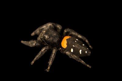 Photo: Agave jumping spider (Paraphidippus basalis) at the Audubon Insectarium.