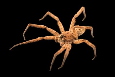 Photo: Dark fishing spider (Dolomedes tenebrosus) at the Audubon Insectarium.