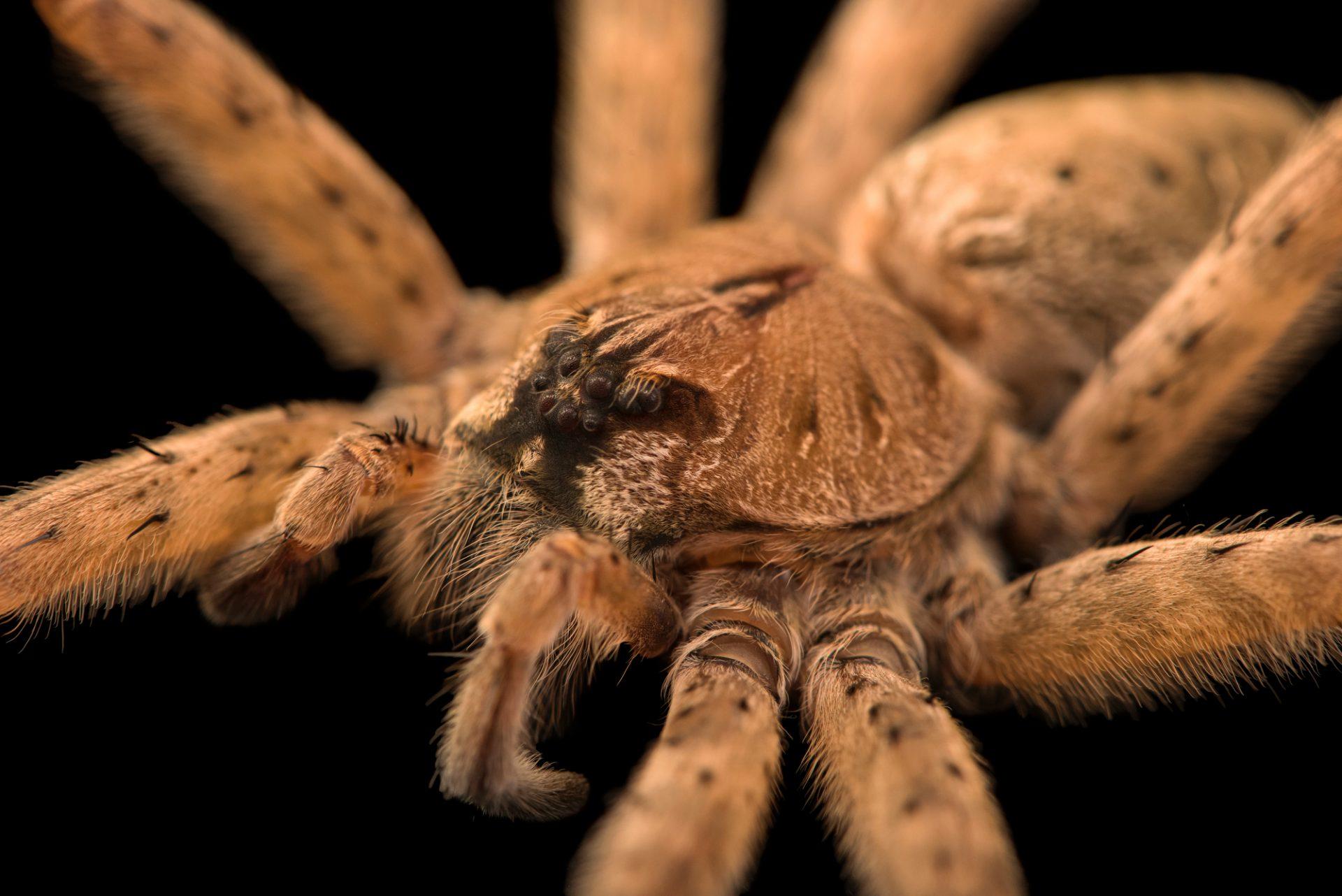 Photo: Fishing spider (Dolomedes tenebrosus) at the Audubon Insectarium.