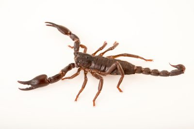 Photo: Wood scorpion (Cercophonius squama) at the Singapore Zoo.